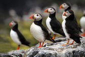 Atlantic Puffins (Fratercula arctica) stood on cliff top — Stock Photo