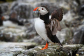 Atlantic Puffin (Fratercula arctica) with sand eels in its beak — Stock Photo