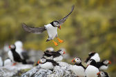 Atlantic Puffin (Fratercula arctica) in flight coming in to land — Stock Photo
