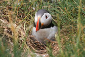 Atlantic Puffin (Fratercula arctica) coming out of burrow — Stock Photo