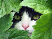 Black and White Cat peeking through the undergrowth. — Stock Photo