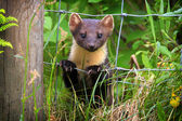 Pine Marten (Martes martes) looking through a wire fence. Taken in the Highlands, Scotland. — Stock Photo