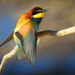 European Bee-eater (Merops apiaster) perched on a branch in the early morning sun — Stock Photo #45531553