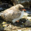 Arctic Tern (Sterna paradisaea) Chick — Stock Photo