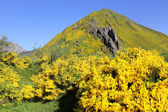 Yellow Broom or Spartium on a Spanish Mountainside — Stock Photo