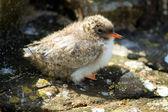 Arctic Tern (Sterna paradisaea) Chick — Stock Photo