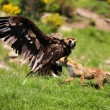 Cinereous (Eurasian Black) Vulture (Aegypius monachus) has a stand off with a Red Fox (vulpes vulpes) — Stock Photo #45931157