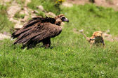 Cinereous (Eurasian Black) Vulture (Aegypius monachus) has a stand off with a Red Fox (vulpes vulpes) — Stock Photo