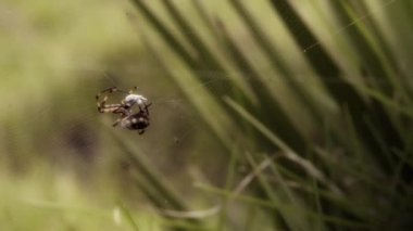 Spider weaving its prey, macro shot — Stock Video