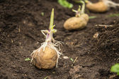 Sowing potatoes — Stock Photo