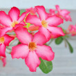 Desert Rose   flower — Stock Photo #42213363