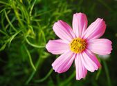Pink  flower garden backgrounds — Stock Photo