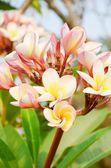 Plumier flower — Stock Photo