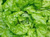 Fresh butter head lettuce with water drops — Stok fotoğraf