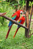 Parrot: scarlet macaw — Stock Photo