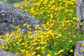 Daisy flowers on the rock — Foto Stock