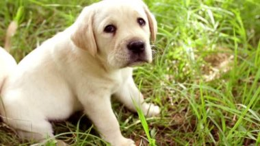 Cute young labrador puppy in grass — Stock Video