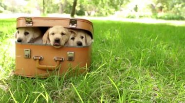 Labrador puppies in suitcase lying on green grass — Stock Video