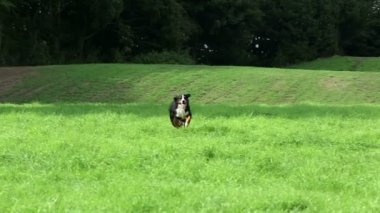 Bernese Mountain Dog running — Stockvideo