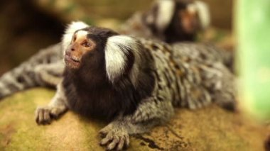 Marmoset monkey — Stock Video