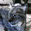 Lince — Stock Photo