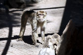 Macaco — Stock Photo