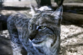 Lince — Photo