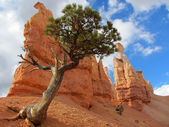 Bristlecone Pine, Bryce Canyon National Park, Utah, USA — 图库照片