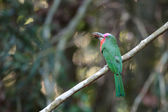 Red-bearded Bee-eater  — Stockfoto