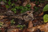 Um bacurau-de-cauda-grandes nas folhas secas — Fotografia Stock