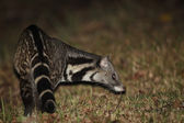 A Large Indian Civet finding the food at night time — Stock Photo
