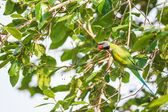 A male Red-breasted Parakeet eating wild berry on the tree — Stock Photo