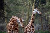 Giraffes — Stock Photo