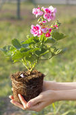 Gardening - Planting geraniums — Stock Photo