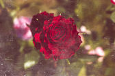 Beautiful Red Rose Close Up, Retro Style Imagery — Stock Photo