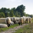 Flock of sheep grazing — Stock Photo #50954735