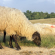 Sheep Grazing — Stock Photo #50954831