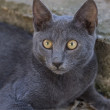 Russian Blue Cat — Stock Photo #51574731