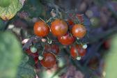 Organic Cherry Tomatoes — Stock Photo