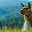 Llama with copyspace — Stock Photo