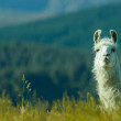 A funny Llama with plenty of copyspace — Stock Photo