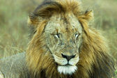 A resting male African Lion Panthera leo — Stock Photo