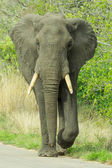 An impressive African Elaphant Loxodonta africana walks on the road — Stock Photo