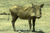 A warthog Phacochoerus africanus — Stock Photo