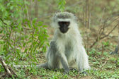 A cute vervet monkey in the Kruger National Park, South Africa — Stock Photo