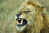 Closup of an angry African Lion Panthera Leo — Stock Photo