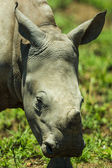 Closup of a baby white rhino — Stock Photo