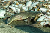 Discarded dead shark and other bycatch — Stock Photo