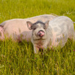 Young vietnamese pigs — Stock Photo