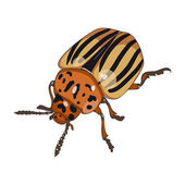 Colorado beetle isolated on white background — Stock Vector